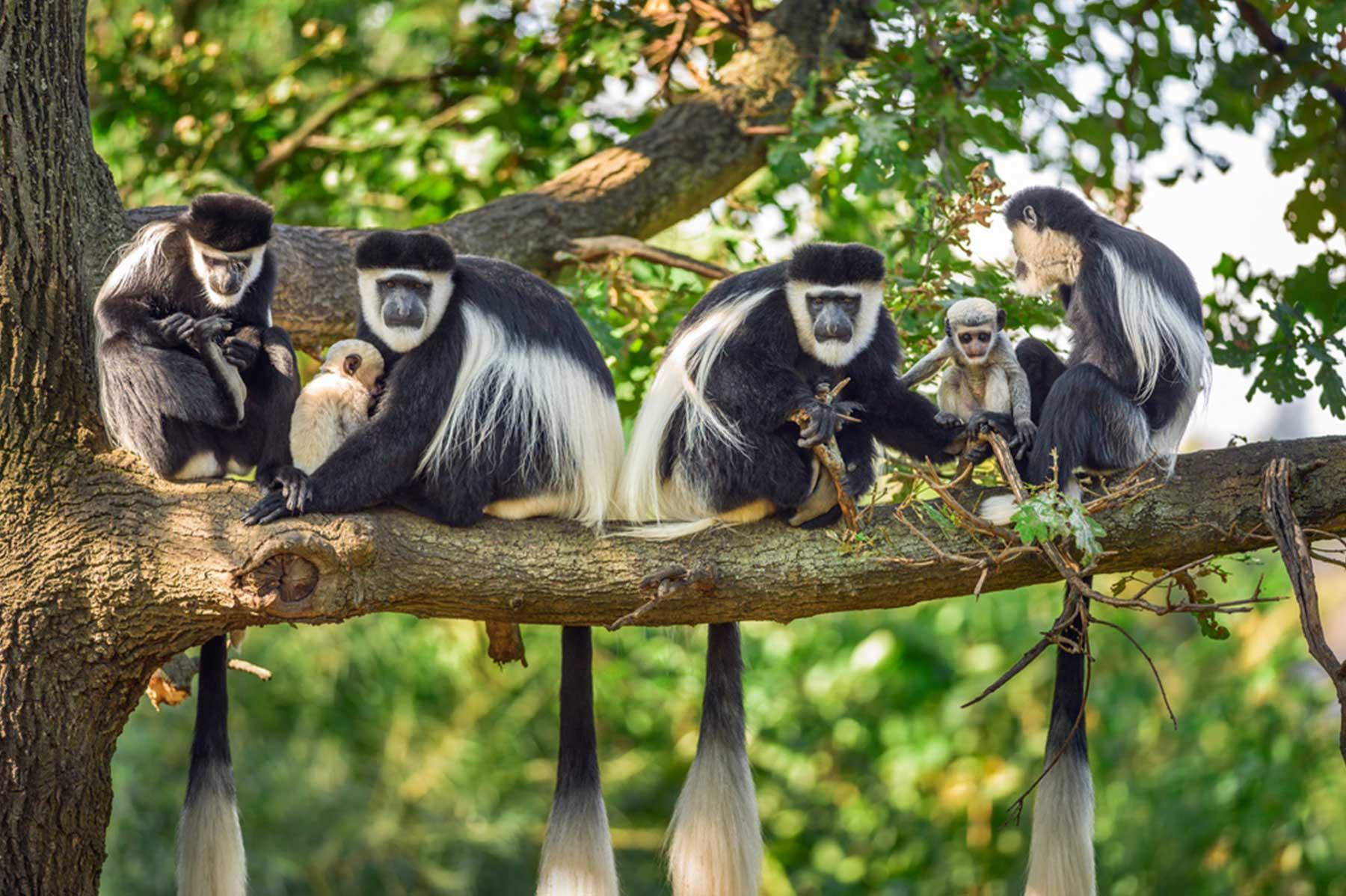 东黑白疣猴