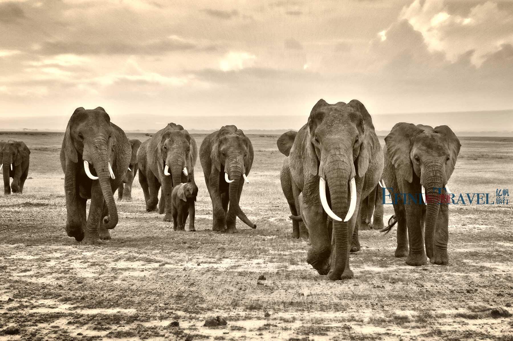 坦桑尼亚大象