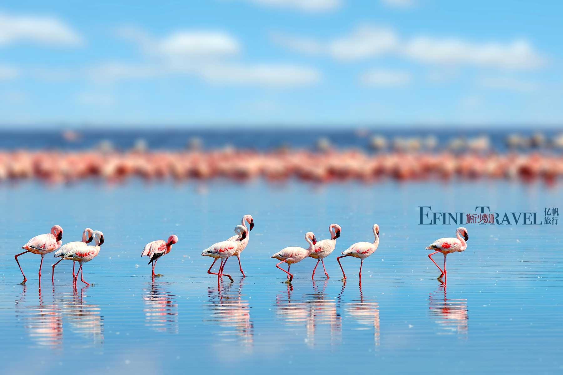 曼雅拉湖火烈鸟