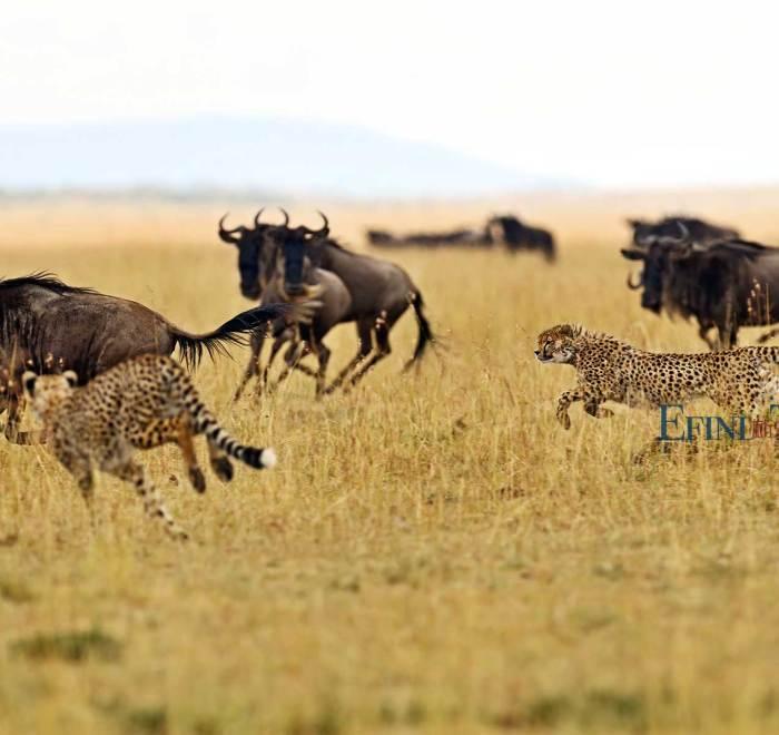 捕猎的豹子