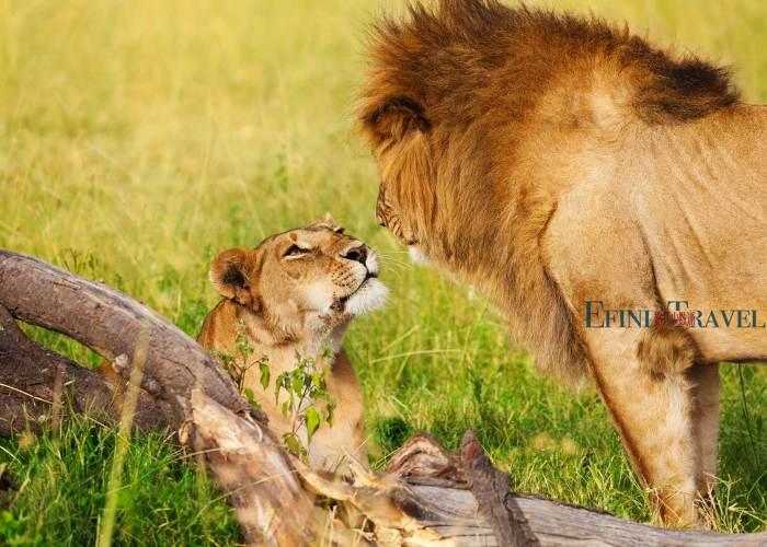 塞伦盖蒂草原上的狮子