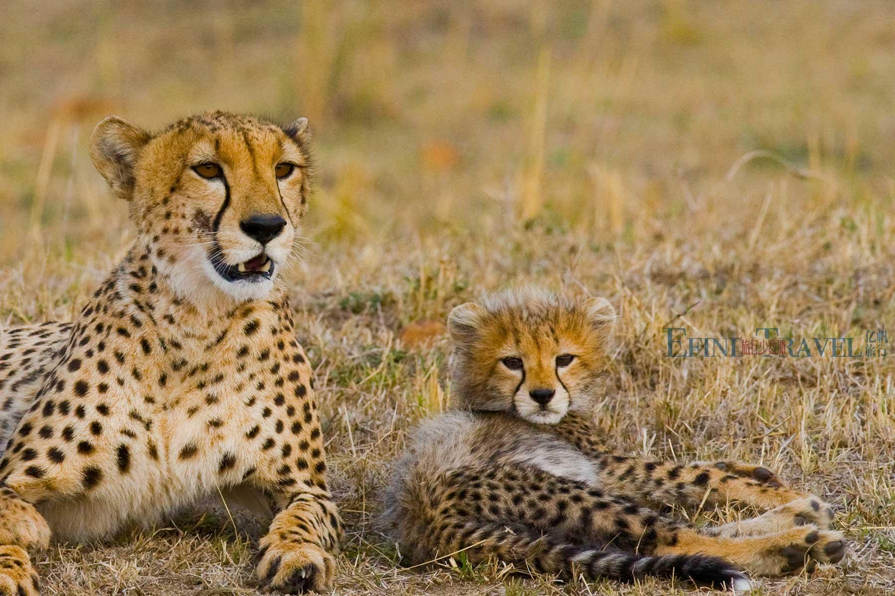 塞伦盖蒂草原豹子