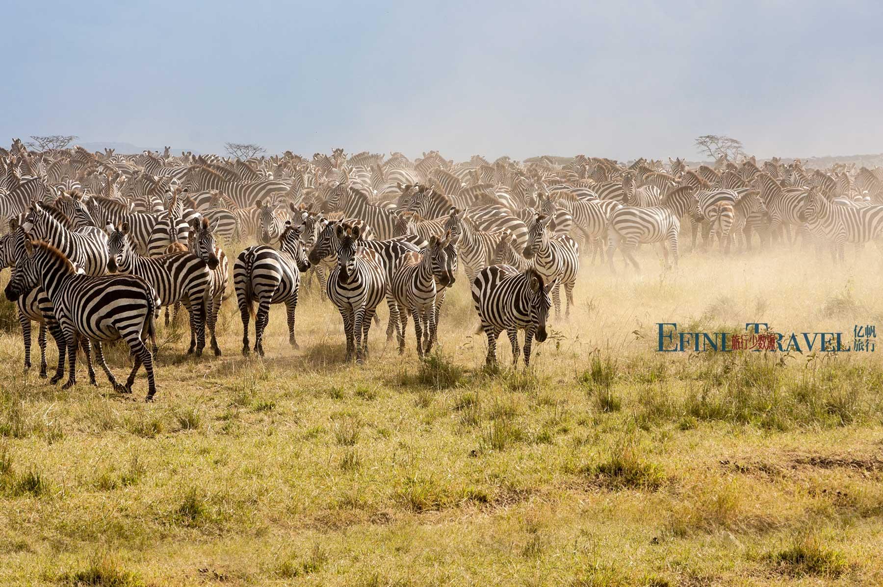 塞伦盖蒂草原上的斑马群
